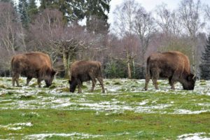 Bisonherde im Winter