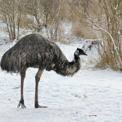 Emu im Winter