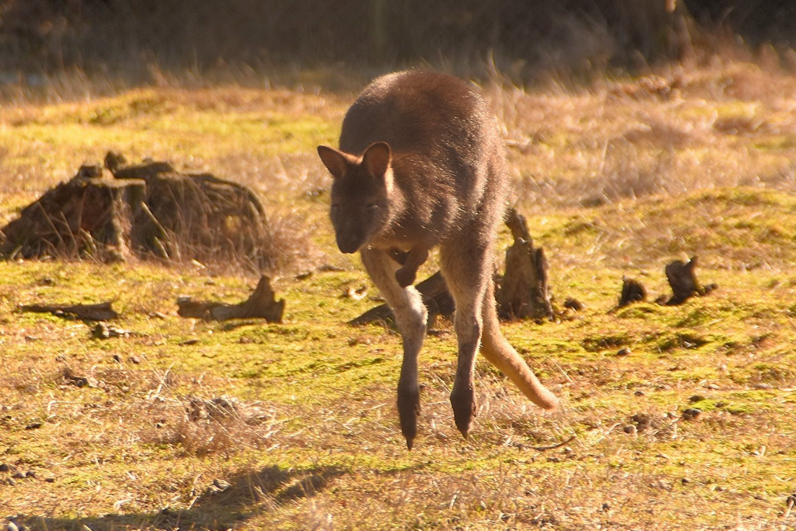 sprinendes Wallaby im Lenz